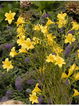Hemerocallis steeple jackie van berkum nursery this amazing tall daylily has well branched stems that have dozens clusters of small flowers on each canary yellow flowers appear in august mightylinksfo