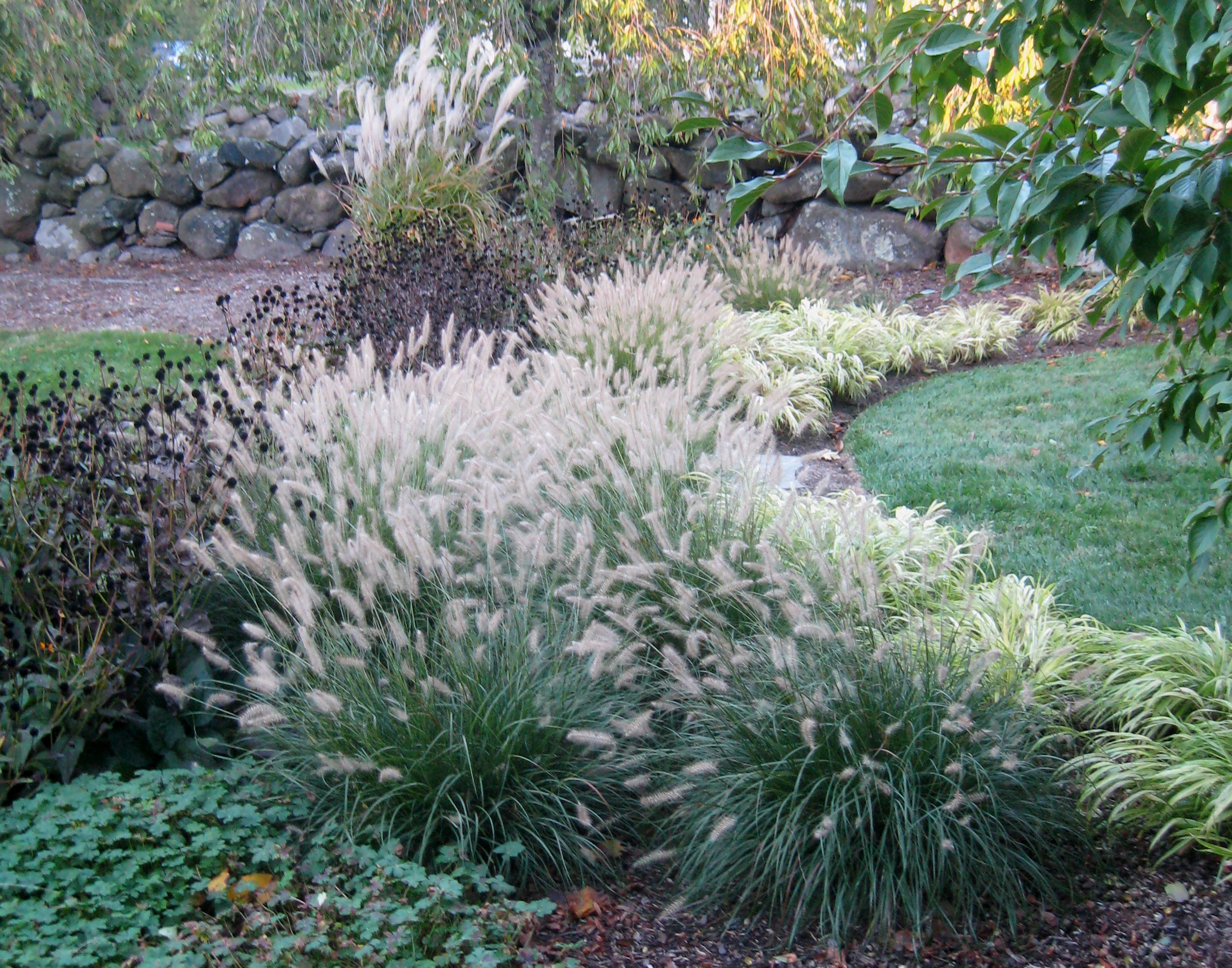 Grass pennisetum alopecuroides hameln van berkum nursery for Hardy fountain grass