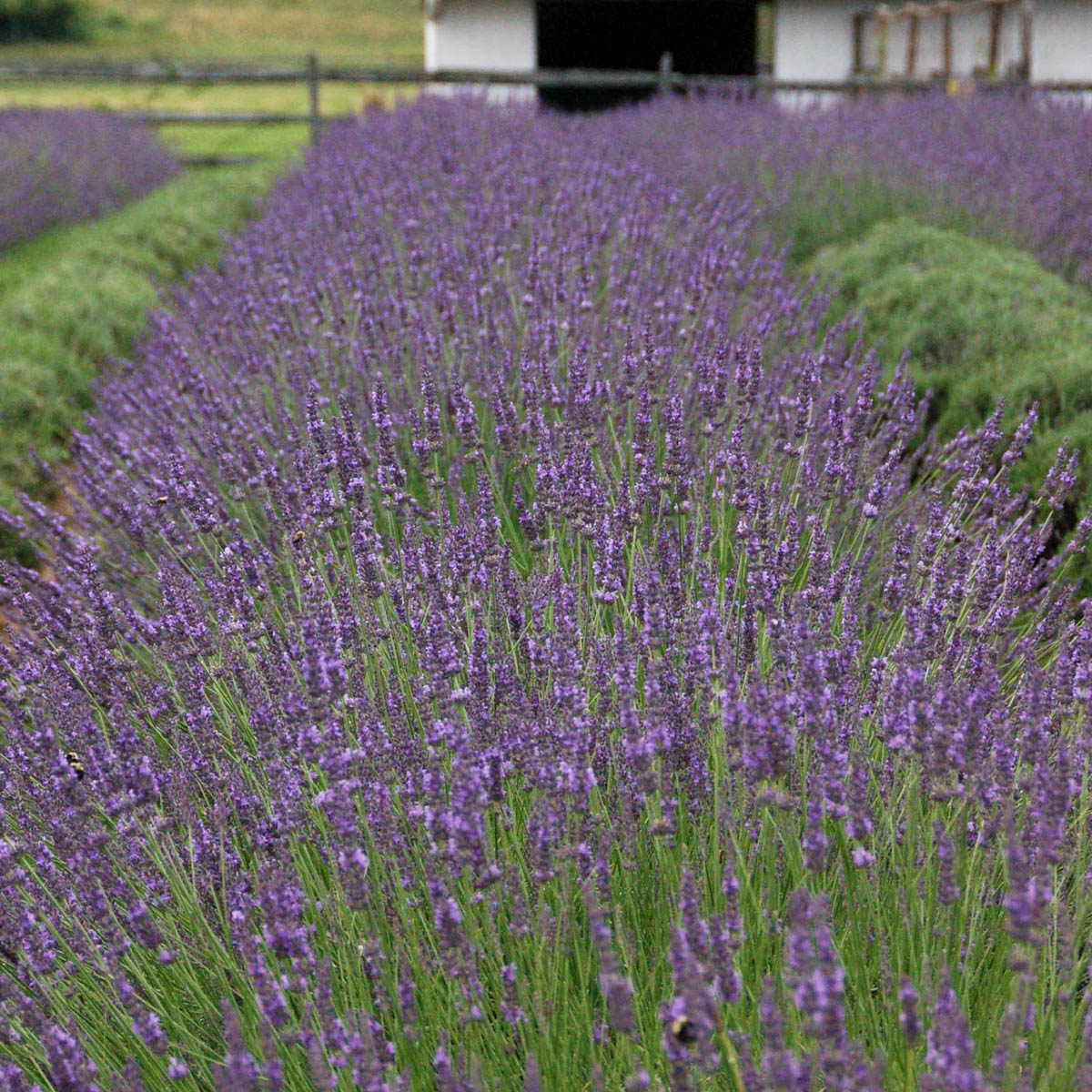Lavandula x intermedia 'Phenomenal'