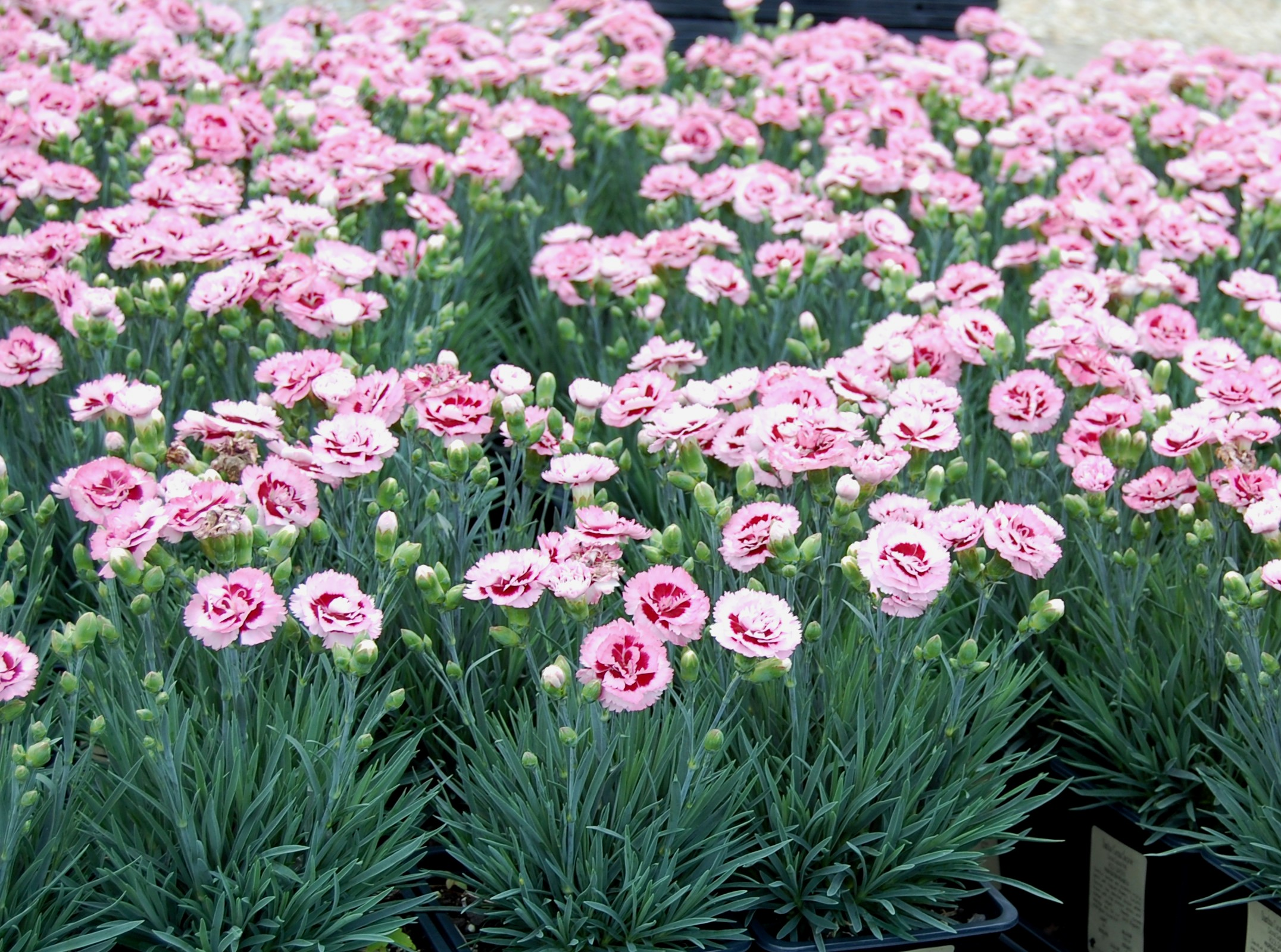 Dianthus 'Raspberry Surprise'